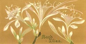 Sand Lilies